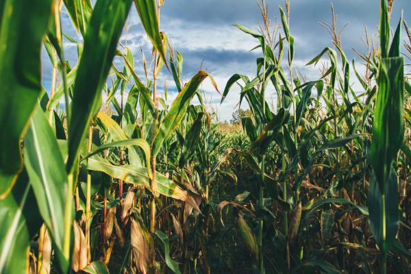Corn fields in central Iowa